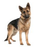 Duitse herder (8 maanden) Royalty-vrije Stock Fotografie