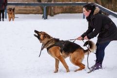 Duitse herder Aggressive Protecting de Gastheer Gomel, Wit-Rusland royalty-vrije stock foto's