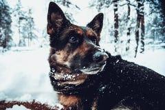 Duitse herder die op de sneeuw liggen stock fotografie