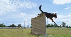 Duitse herder die over hindernis 4k springen stock videobeelden