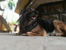 Duitse herder Dog Stock Foto's
