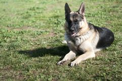 Duitse herder Dog Royalty-vrije Stock Afbeelding