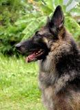 Duitse herder Dog Royalty-vrije Stock Foto