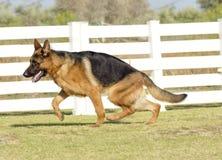 Duitse herder Dog Royalty-vrije Stock Afbeeldingen