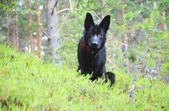 Duitse herder Dog Stock Fotografie