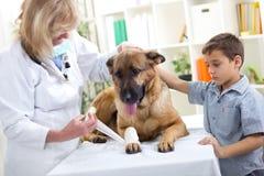 Duitse herder Dog die verband na verwonding op zijn been langs worden royalty-vrije stock afbeelding