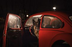 Duitse herder Dog in een retro rode auto stock foto