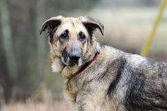 Duitse herder Dog, leiband en kraag, huidvoorwaarde, behandeld inhumaan Royalty-vrije Stock Foto's