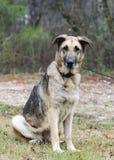 Duitse herder Dog, leiband en kraag, huidvoorwaarde, behandeld inhumaan royalty-vrije stock afbeeldingen