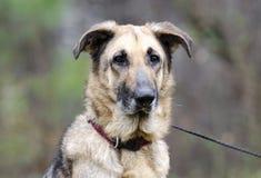 Duitse herder Dog op leiband, huidvoorwaarde, behandeld inhumaan Stock Fotografie