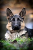 Duitse herder Dog Portrait royalty-vrije stock foto's