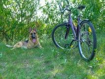 Duitse herder en een fiets Stock Foto's