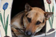Duitse herder, half ras Portret van de hond in zijn huis royalty-vrije stock foto