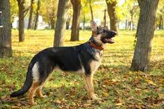 Duitse herder in het de herfstpark Hond in bos royalty-vrije stock foto's