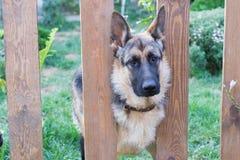 Duitse herder in het gras Stock Foto