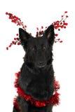 Duitse herder, Kerstmis Stock Foto's