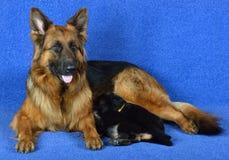 Duitse herder met puppy! stock afbeeldingen
