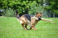 Duitse herder met stok Stock Foto's