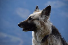Duitse herder in nadruk Stock Foto