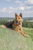 Duitse herder op baal van hooi Royalty-vrije Stock Foto
