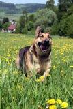 Duitse herder op Gebied stock afbeelding