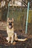 Duitse herder op grond Royalty-vrije Stock Foto