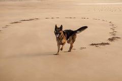 Duitse herder op strand II Royalty-vrije Stock Foto