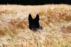 Duitse herder Portrait Royalty-vrije Stock Foto