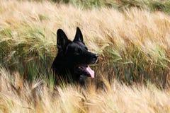 Duitse herder Portrait Stock Fotografie