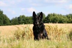 Duitse herder Portrait Royalty-vrije Stock Afbeelding