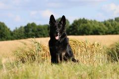 Duitse herder Portrait Stock Afbeeldingen