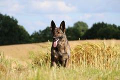 Duitse herder Portrait Royalty-vrije Stock Foto's