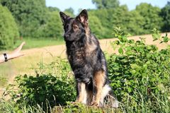 Duitse herder Portrait Royalty-vrije Stock Fotografie