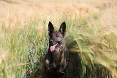 Duitse herder Portrait Stock Foto