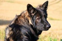 Duitse herder Portrait Stock Foto's