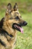 Duitse herder - portret Stock Foto's