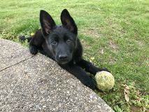 Duitse herder Puppy stock foto