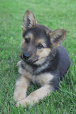 Duitse herder Puppy Royalty-vrije Stock Foto's