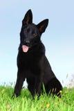 Duitse herder Puppy Stock Foto's