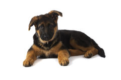 Duitse herder Puppy Stock Afbeelding