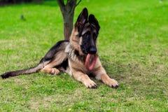 Duitse herder Puppy Stock Afbeeldingen