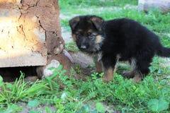 Duitse herder Puppy Royalty-vrije Stock Afbeeldingen