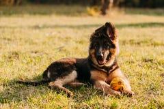 Duitse herder Puppy Royalty-vrije Stock Afbeelding