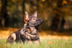 Duitse herder Puppy Royalty-vrije Stock Fotografie