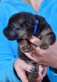 Duitse herder puppy genoemde Alchar! stock afbeelding
