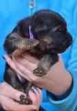 Duitse herder puppy genoemde Angus! royalty-vrije stock afbeelding