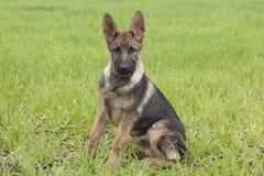 Duitse herder` s puppy Stock Afbeelding