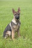 Duitse herder` s puppy Stock Fotografie