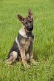 Duitse herder` s puppy Royalty-vrije Stock Afbeeldingen