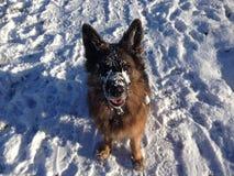 Duitse herder in sneeuw Stock Afbeelding